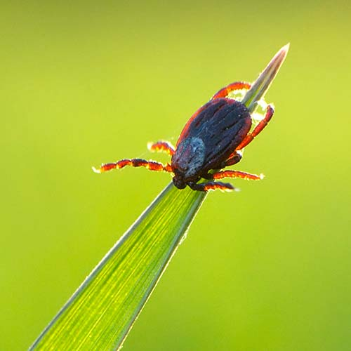 Lyme Disease Testing For Borrelia Species And Co
